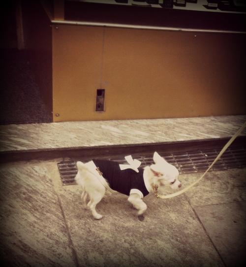 chihuahua, cappottino, maglioncino, fiocco, cappottino per cani, piccola taglia, maglioncino per cani, vestito elegante per cani, maglioncino elegante per cani, vestito elegante per cani, cagnoline